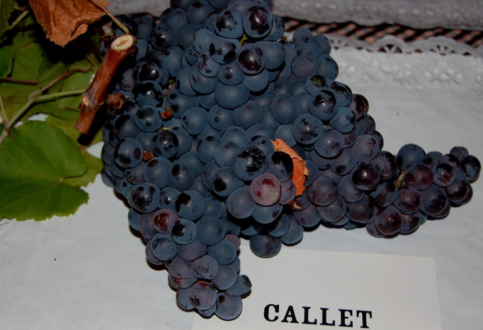 One of Mallorca's native grape varieties: great for wine, but not for New Year's Eve tradition