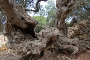 Passing ancient olive trees along the walk