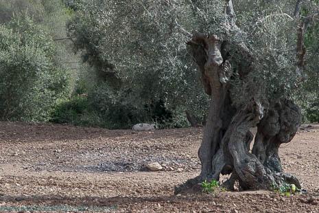 Mallorcan olive tree