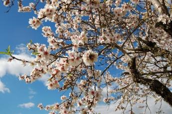 Mallorca's famous almond blossom