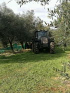 Starting the olive harvest